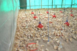 Day Old Chicks at the Commercial Farm-min